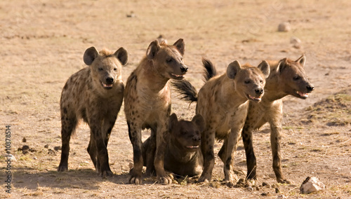 Poster Hyena Pack of hyenas