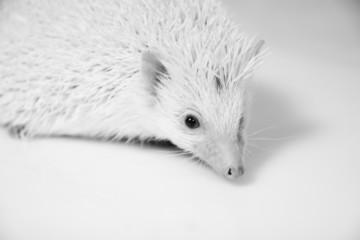 Albino-Igel