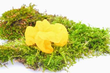 Fungus Tremella mesenterica