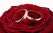 Two gold wedding bands beside a red rose