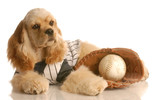 cocker spaniel dressed up as baseball player with ball poster