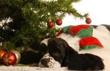 american cocker spaniel under christmas tree poster