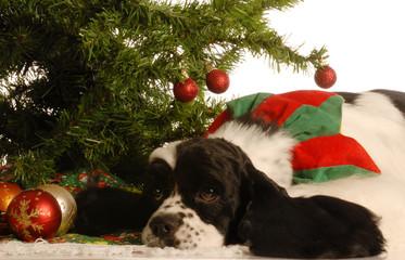american cocker spaniel under christmas tree