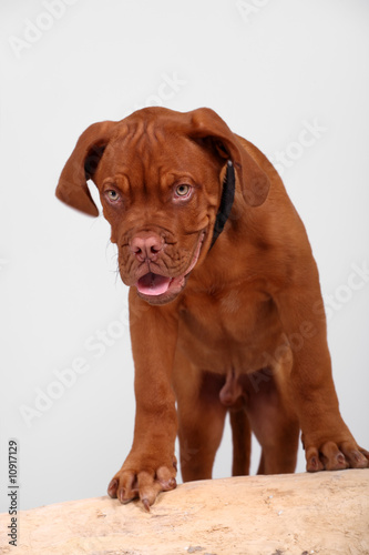 Dogue de Bordeaux over grey background