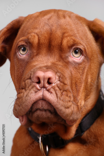 close-up of dogue de bordeaux over grey background