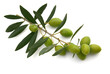 Brin d'olivier