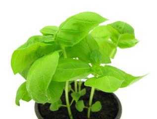 Basil plant in flowerpot