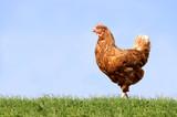 Fototapety Hühner