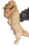 cocker spaniel puppy with large hernia on abdomen poster