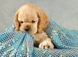 american cocker spaniel puppy playing under blue blanket poster