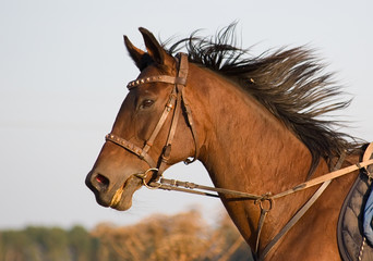 Portrait of a bay horse on gallop.