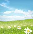 Chamomile  flowers landscape