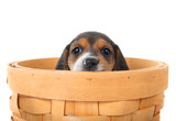 Beagle puppy in a basket poster