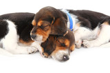 Beagle puppies sleeping poster