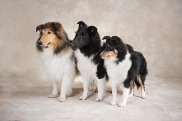 Shetland Sheepdogs looking over