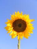 girasol en dia soleado poster