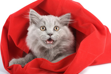 british kitten in red bag isolated
