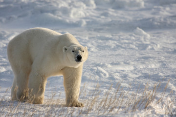 Polar bear walking on the arctic snow, with lowered head