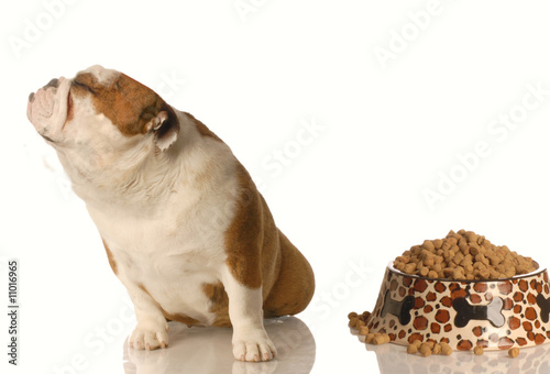 english bulldog turning nose up at full dish of food