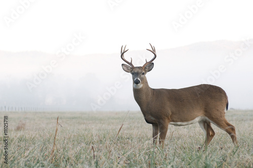 Deurstickers Hert Whitetail deer buck in an open field