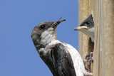 Mother Tree Swallow Feeding Baby poster