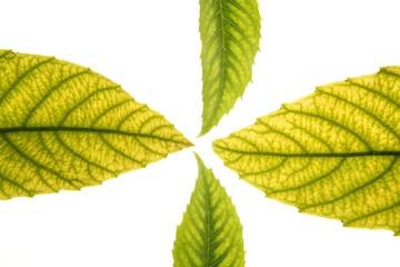 Green leaves, medlar, ceiba, white background