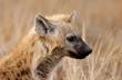 Spotted hyena (Crocuta crocuta), Kruger N/P, South Africa