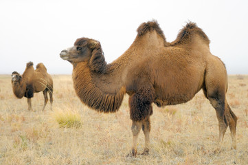 Two bactrian camels in asian steppe