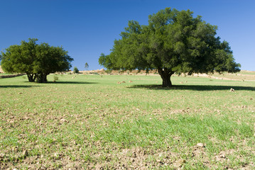 Two Argan trees
