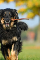hovawart, hund, apportieren