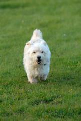mischlingshund, hund, klein