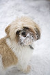 Shih Tzu in the Snow #2