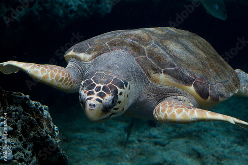 Loggerhead sea turtle gliding through the water
