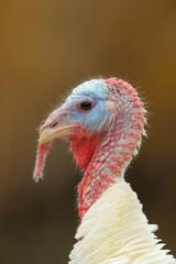 Head of white domestic turkey