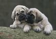 deux chiots mastiff se murmurant un secret dans l'oreille
