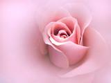 Fototapete Rose - Saint - Blume