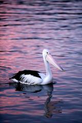 A pelican paddling at dusk