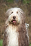 portrait d'un bearded collie adulte au poil vieillissant