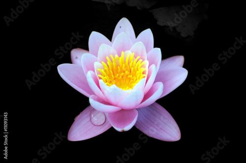 In de dag Lotusbloem Lotus