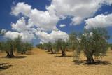 Olivenhain - olive grove 03 poster