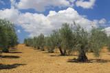 Olivenhain - olive grove 04 poster