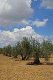 Olivenhain - olive grove 05 poster