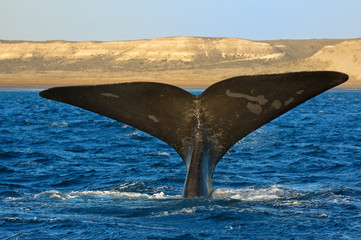 Right whale in Patagonia, Argentina.