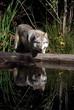 Fototapeta Carnivore - Fauna - Dziki Ssak