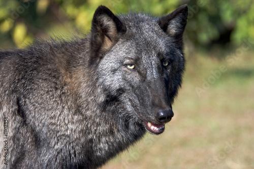 Fototapeta zwierzę - Carnivore - Dziki Ssak