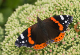 Butterfly red admiral on sedum poster
