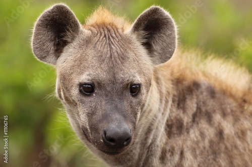 Hyena looking into the distance
