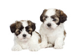 puppy mixed-Breed Dog between Shih Tzu and maltese dog (7 weeks) poster