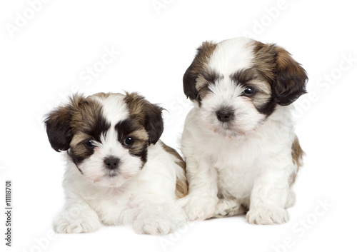 poster of puppy mixed-Breed Dog between Shih Tzu and maltese dog (7 weeks)