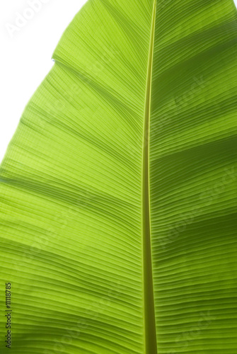 Banana Leaf Back-lit